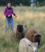 herdingsheep